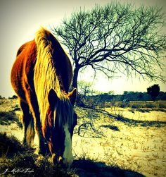 Assateague Wild Pony- I read about these ponies as a child. I want to go see them