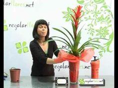 Cuidado de la planta Guzmania - YouTube