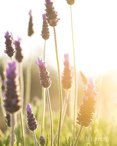 lavender and light