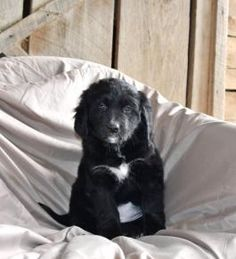 Copper - Bernese Mountain Dog Mix Puppy for Sale in Blairsville, PA | Lancaster Puppies Bernese Mountain Dog Mix, Lancaster Puppies, Dog Mixes, Puppies For Sale, Daddy, Dogs, Animals, Animales, Animaux