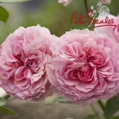 Peter Beales Roses Ltd - Retailers of climbing, rambling, shrub and standard Roses as well as companion plants and garden centre products Standard Roses, Old Rose, Garden Plants, Planting Shrubs, Climbing Roses, Pink Roses, Rose Flowers, Companion Planting, English Roses