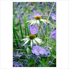 GAP Photos - Garden & Plant Picture Library - Echinacea purpurea 'White Swan' growing with Geranium 'Rozanne' and Eryngium planum - GAP Photos - Specialising in horticultural photography