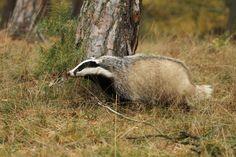 Jezevec lesní (Meles meles) Badger
