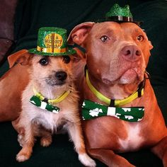 Happy St. Patrick's Day! Dogs love bow ties! Barky Bows - Dog bows. barkybow.com