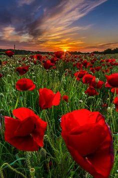 Sunset in poppy field, Kos island, Greece
