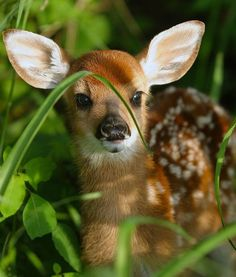 Fawn in the grass...