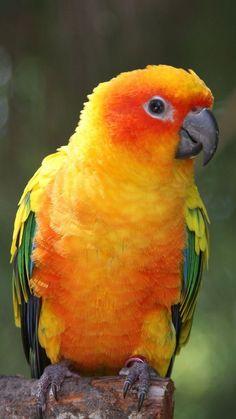 Exotic birds - Sun Conure parrot.