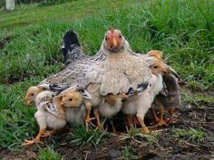 A mother hen covering/protecting her brood of baby chicks.