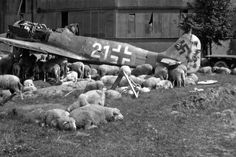 Postwar photo. Crashed Focke-Wulf Fw 190A-8 German fighter (produced in the factory of the company Fieseler, Kassel in December 1944) of 4./JG 301 Squadron at the cattle farm of grazing sheep in Germany. Nuremberg, 1946.     Location: Germany, Nuremberg Time taken: 1946