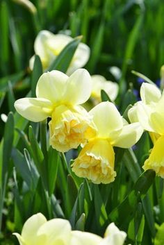 Different variety of daffodils...nice.