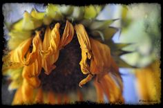 Sunflowers - were the flower in the bridal bouquet. S suggested using some dead ones