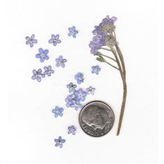 Forget-Me-Nots - Pressed Flowers - Pressed Forget-Me-Not ($4.95) ❤ liked on Polyvore featuring home, home decor, floral decor, fillers, flowers, plants, decor, other, flower stem and flower home decor