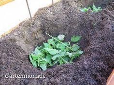 """Brennessel für Tomatenpflanzen Brennessel als natürlicher Dünger und zum """"wärmen"""" Brennesseln gibt es überall. Trocknet man die Blätter, kann man Brennesseltee zubereiten. Eine andere Möglichkeit: Brennesseln können als natürlicher Dünger und """"Wärmflasche"""" für Tomatenpflanzen eingesetzt werden. Nach dem 15. Mai, wenn die Eisheiligen vorbei sind und kein Frost mehr zu erwarten ist, werden die Tomaten in den Garten gepflanzt:"""