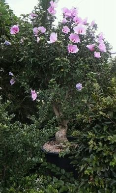 무궁화 꽃