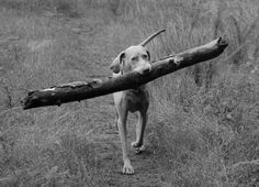 Weimeraner's love wood..my Boy..Haha! Sometimes he can't get it past where he wants to go because it's so big! So true. Love my Hunter.