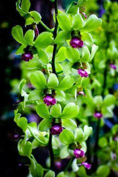http://www.greeneratravel.com/ info@greeneratravel.com  Dendrobium Orchid Singapore