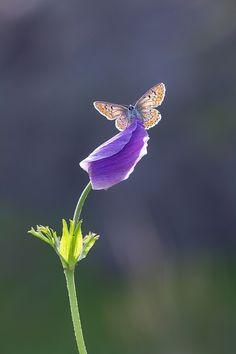 brown argus by lisans on DeviantArt Flying Flowers, Butterflies Flying, Beautiful Butterflies, Pretty Flowers, Butterfly Pictures, Butterfly Flowers, Butterfly Wings, Butterfly Species, Mystical Forest