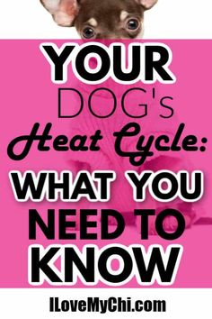 This post explains what you need to know before your dog's first heat cycle. Chihuahua Puppies, Baby Puppies, Dogs And Puppies, Chihuahuas, Dog Heat Cycle, Dog In Heat, All Breeds Of Dogs, All Dogs, Shelter Dogs