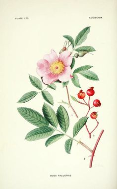Swamp Rose. Illustration from 'Addisonia' (Volume 8) by Mary Eaton. Published 1923 by The New York Botanical Garden. archive.org