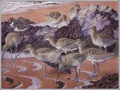 'Curlews And Turnstones' by Charles Tunnicliffe. (1901-1979) England. Much of his work depicted birds in their natural settings and other naturalistic scenes. His work was characterised by its precision and accuracy, but also by the way in which he was able to portray birds as they were seen in nature rather than as stiff scientific studies. http://en.wikipedia.org/wiki/Charles_Tunnicliffe