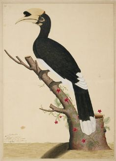 Pied Hornbill (Anthracoceros malabaricus), by Shaikh Zain ud-Din for lady Mary Impey, Kolkata, India, 1777