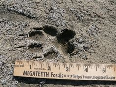 Coyote Tracks, slightly smaller than Wolf