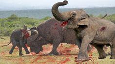 Most Amazing elephant vs buffalo real fight | elephant kicks buffalo in ...