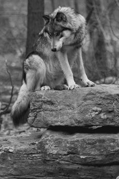 Wolf Beauty Trends 2019 beauty trends on green springs Wolf Images, Wolf Photos, Wolf Pictures, Beautiful Wolves, Animals Beautiful, All About Wolves, Tier Wolf, Canis Lupus, Animals And Pets