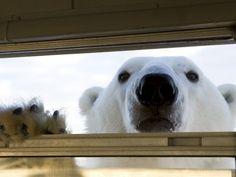 See polar bears in Hudson Bay, Churchill, Manitoba, Canada