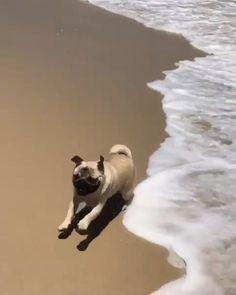 🤪❤️ PUG CRAZY! ❤️🤪 for @beach_pug #IAmPugCrazy #PugLove #PugLife #Pug #Pugs #PugLover #Pugsofinstagram #PugPuppies #PugPuppy #Pugstagram #PugLovers #PugNation #Mops #PugLoversClub #PugOfTheDay #Pugdog #Puggle #PugWorld #Puppy #Puppies