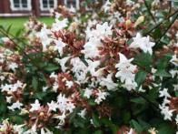 Abelia grandlflora is a fantastic choice for attracting butterflies and hummingbirds. Plant in full sun or part shade, in zones 6-9.