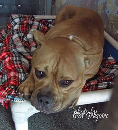 A4856782 I am an adorably sweet 2 yr old female tan pit bull mix. I came to the shelter as a stray on July 17 (along with A4856781 - next photo). available 7/22/15 Baldwin Park shelter https://www.facebook.com/photo.php?fbid=1000198616658642&set=a.705235432821630&type=3&theater