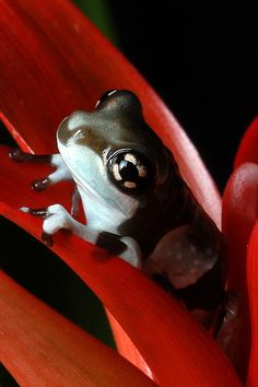 Young Amazon Milk Frog in Bromeliad Flower