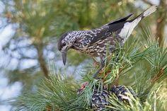 Cassenoix moucheté, Nucifraga caryocatactes - Oiseaux - NatureGate