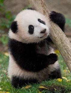 'Epic Panda with hammer' by Rhoar Cute Funny Animals, Cute Baby Animals, Animals And Pets, Panda Tree, Baby Panda Bears, Baby Pandas, Panda's Dream, Smiling Cat, Cute Panda
