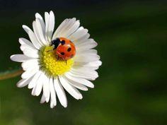 A ladybird's life: in close-up (© Marc O'Sullivan/Rex)