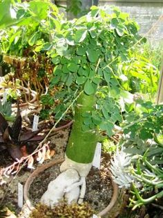 CAUDICIFORM Adenia fruticosa