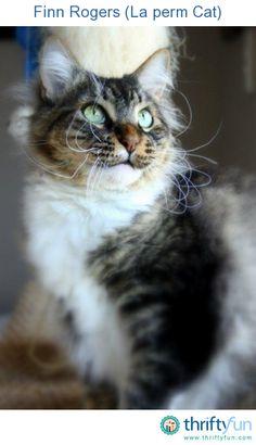 My La Perm cat Finn, what a handsome boy