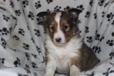 Sheltie Puppies For Sale, 8 Weeks, Corgi, Animals, Corgis, Animales, Animaux, Animal, Animais