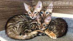 Тойгер котята готовы к переезду, котик и кошечка 3 месяца. Мечтали приобрести для своей семьи котёнка породы тойгер?🐯#тойгер подробности по ссылке ...