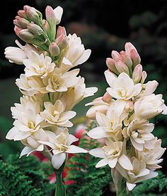 """The Pearl Tuberose - Exceptionally sweet-smelling 1½ to 2½"""" flowers. Superb for cutting. White, waxy double florets set closely on 3' stems blooms in July to October. Space 6-8"""" apart. Grows best in full sun."""