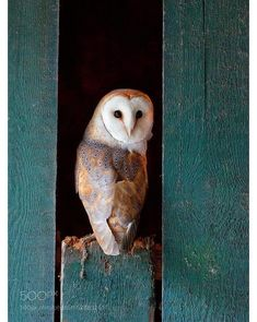 Pretty barn owl in nice composition