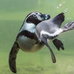 Penguin Bird, Penguin Love, Cute Penguins, Penguin Craft, Macaroni Penguin, Galapagos Penguin, Humboldt Penguin, Penguin Pictures, Aliens