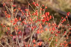 Winterberry Holly is both a sustainable plant choice for the landscape and one noteworthy of the winter garden!