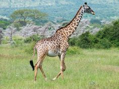 A pregnant female giraffe - Image by dmitri_66