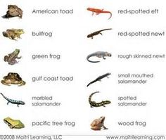 Amphibians include frogs, toads, salamanders, and newts ...