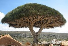 The Dragon Blood Tree (Dracaena cinnabari): Native to the island of   Socotra in the Indian Ocean, this evergreen is named for its dark red resin, 'Dragon's Blood'. The shape of the tree is an adaptation for survival in arid conditions with low amounts of soil. The thick leaves of the large, packed crown provides shade, reduces evaporation and aids in the survival of seedlings which grow beneath the adult tree. http://en.wikipedia.org/wiki/Dracaena_cinnabari Photo by Boris Khvostichenko…