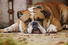 English Bulldog Puppies For Sale - Be Prepared Before You Make a Purchase Dog Separation Anxiety, Dog Anxiety, Rottweiler, Positive Verstärkung, Bull Dog Ingles, Cat Nose, Old Dogs, Family Dogs, Bulldog Puppies