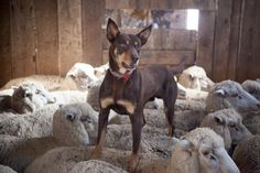 Kellie breed heard in and different way by walking on the backs of the sheep.lol now I know why penny walks on my back while I am sleeping. Australian Dog Breeds, Australian Animals, Australian Cattle Dog, Baby Puppies, Dogs And Puppies, Farm Animals, Cute Animals, Aussie Dogs, Farm Dogs
