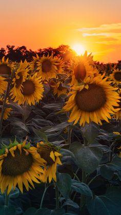 Wallpaper para celular de pôr do sol no campo de Girassóis. Veja dicas para fotografar flores e folhas no link!